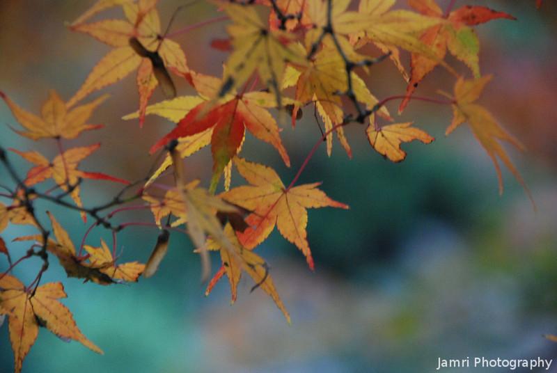 Autumn Leaves.<br /> At Kiyomizu-dera (Kiyomizu temple), Higashiyama, Kyoto.
