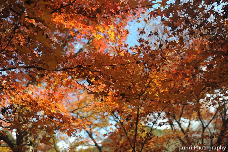 Warm Maple Colours.