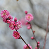 The pink Ume (Plum) blossoms.