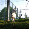 Shiro.<br /> The pet goat at a local primary school, is oft photographed by passers by.