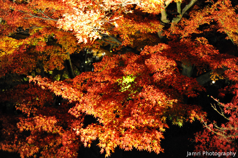Lit up maples.<br /> At Kiyomizu Temple.