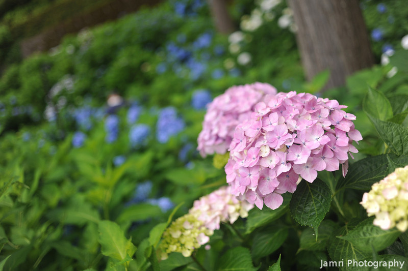 Up close to a pink hydrangea.