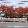 Sakura in Colour Change.<br /> Some of the Sakura by a river in Nagaokakyo.
