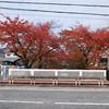 Sakura in Colour Change.<br /> Some of the Sakura by a river in Nagaokakyo.