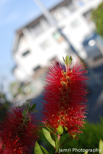 Bottle Brush in Japan.<br /> An unexpected find a Bottle Brush (an Australian native plant) in Nagaokakyo, Japan.