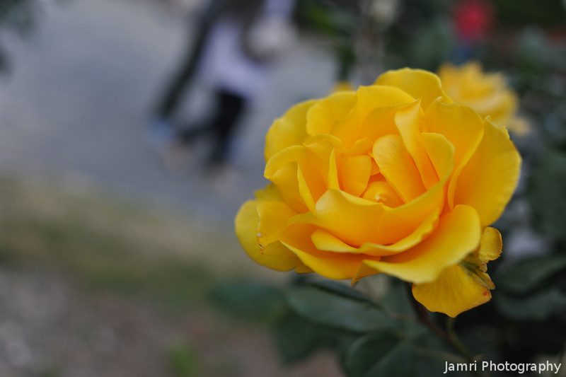 Yellow Rose.<br /> At the Kyoto Botanical Gardens.<br /> Note: Circular Polarising Filter Used.