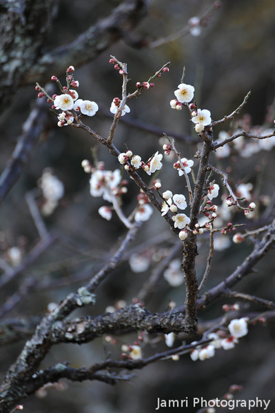 Marbled Ume (Plum) Blossoms.
