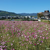 Kosumosu (Cosmos) Flowers<br /> Growing in one of the fields in Nagaokakyo. These fields are normally used to grow rice until late September/ early October, then they are planted with Cosmos.