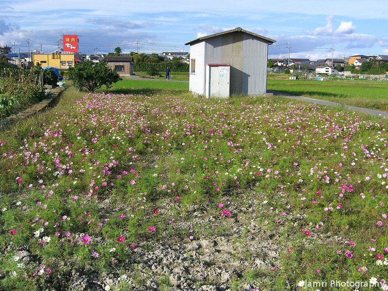 Cosmos Field.<br /> The flowers were a little low in this field after the typhoon that went through earlier in the week.