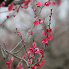 Deep pink Ume (Plum) blossoms.