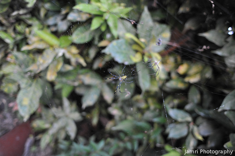 A Spider by a Hedge.