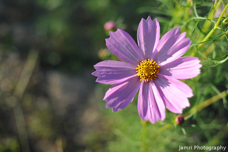 Light Pink Cosmos.