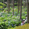 Lines of people in amongst the Hydrangeas.<br /> In the gardens of Mimuroto-ji (a Buddhist temple) near Uji, Kyoto-fu.