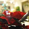 Poinsettia.<br /> The Christmas Flower in Japan.