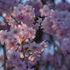 Pink, Purple, Blue.<br /> Shidarezakura (weeping cherry) in Daigo, Fushimi-ku, Kyoto.