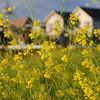 Dancing in the Wind.<br /> Nanohana (Rapeseed) in Nagaokakyo.