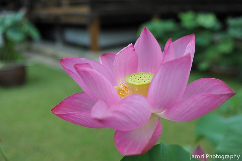 Hot Pink Lotus.<br /> In front of Mimuroto-ji, near Uji, Kyoto.