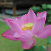 Hot Pink Lotus.<br /> In front of Mimuroto-ji, near Uji, Kyoto.