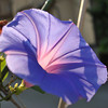 Cultivated Morning Glory.