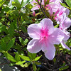 Pink Azaleas.<br /> The larger Azaleas are now starting to peak.