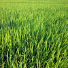 A soothing way to start the day.<br /> I love taking a walk amongst the rice fields.