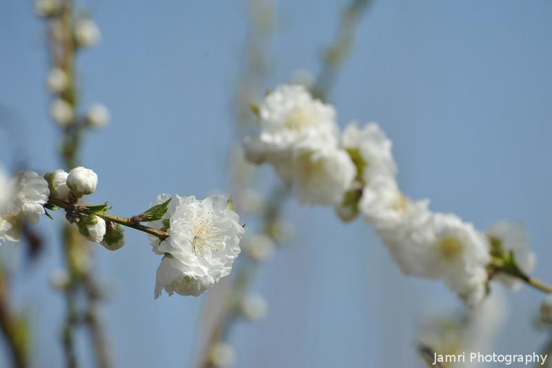 White Peach (Momo) Blossoms.
