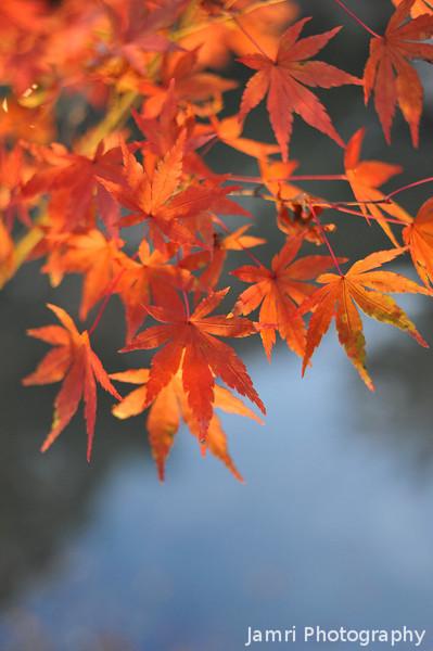 Lit up maple leaves.<br /> At Nagaoka Tenmangu Shrine Park.