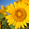 Up close to a sunflower.<br /> Note: Circular Polarising Filter Used.