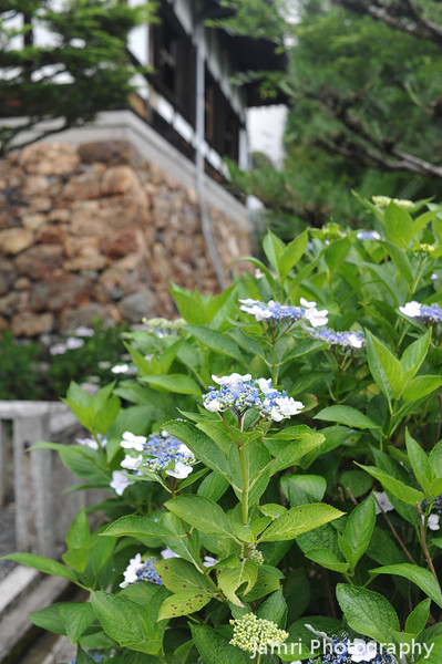 Hydrangeas Outside the Temple.<br /> At Youkoku-ji in Nagaokakyo.