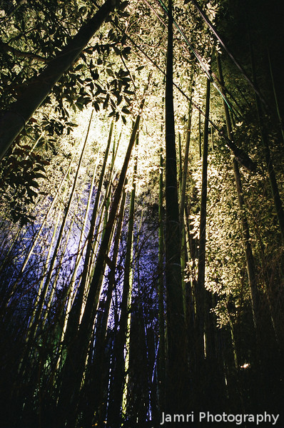 The tall bamboos lit up.<br /> Note: Film Shot, Nikon F80 + 24f/2.8mm + Fujicolor PRO400