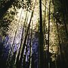 The tall bamboos lit up.<br /> Note: Film Shot, Nikon F80 + 24f/2.8mm + Fujicolor PRO400