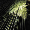 Bending  Green Lit Bamboo.