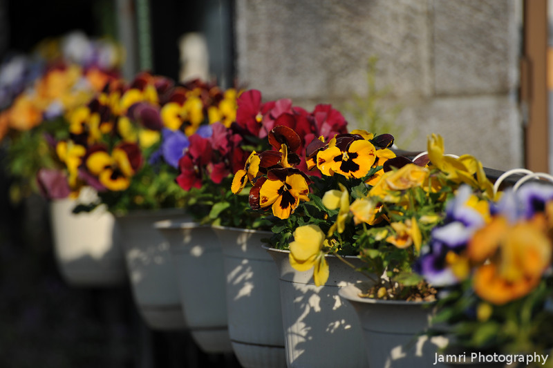 Potted Colour.<br /> A number of pot plants a long the front of a house.