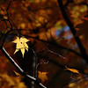 Spotlit Leaf.<br /> At Komyo-ji (a Buddhist Temple) in Nagaokakyo.