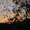 Shidarezakura-sunset.<br /> Using the flash to highlight the Shidarezakura (weeping cherry) against the sunset.