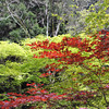 Red and Green contrasts.<br /> Some leaves come out light green and change to dark green before going red in Autumn. Others start red go dark green then orange in autumn. Creating wonderful contrasts.