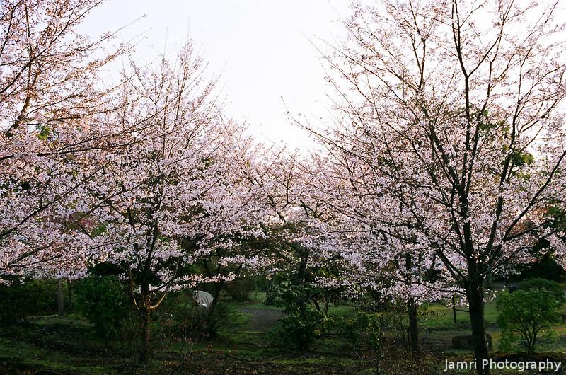Sakura Trees in Morning Light.<br /> Note Film Shot: Nikon F80 + Nikkor 35 f/2 + Fujicolor Reala ACE 100
