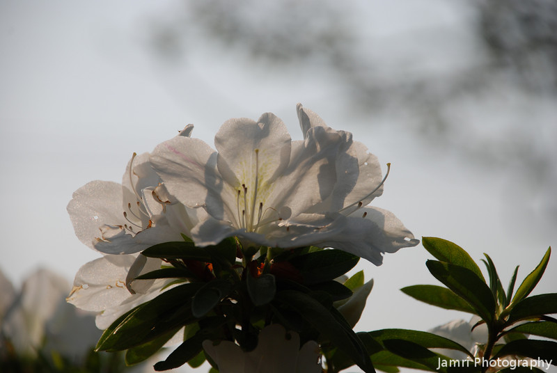 White Azaleas.