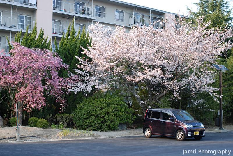 Sakura in the Suburbs.