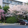 Sakura in the Suburbs.