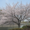 Sakura by the moat.<br /> At Osaka Castle.