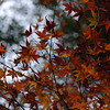 A little bit of Autumn Fire.<br /> Not quite up to explosive yet.<br /> At Kiyomizu-dera (Kiyomizu temple), Higashiyama, Kyoto.