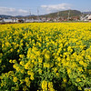 Golden Field.<br /> More Nanohana flowers in bloom.