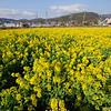 Golden Field.<br /> More Nanohana flowers in bloom.