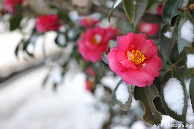 Camellias in the Snow.
