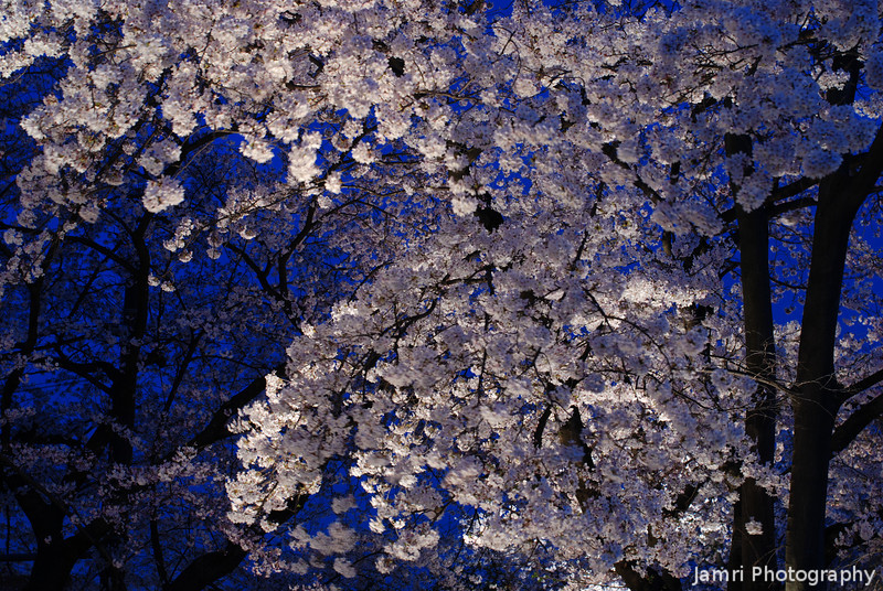 Popcorn Popping.<br /> Cherry blossoms lit up against the evening sky.