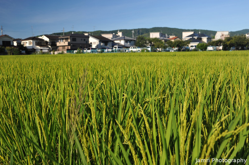 The Heads are Starting to Form.<br /> On the rice plants in this field.