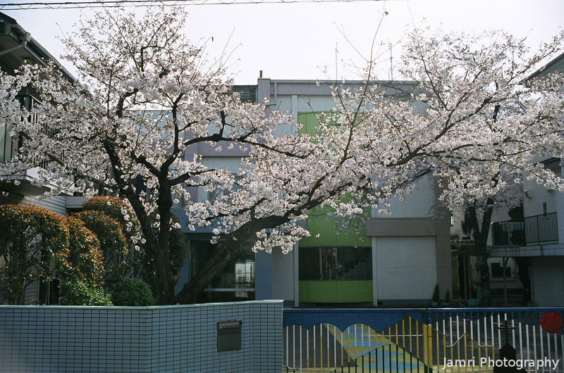 Sakura at Megumi.<br /> The Sakura at the gate of Megumi Kindergarten (where I work part time) about at it's peak of blooming.<br /> Note Film Shot: Nikon F80 + Nikkor AF 35 f/2 + Circular Polariser + Fujicolor PRO400