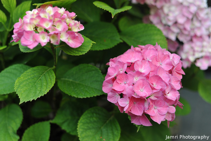 Hot Pink Hydrangeas.