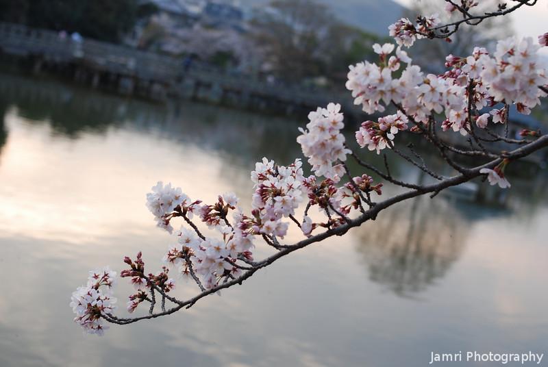 Sakura and Lake.<br /> At Nagaoka Tenmangu Shrine Park.